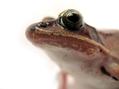 Wood Frog (Rana sylvatica) (6236874620).png