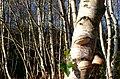 Wood Fungus near Crossways - geograph.org.uk - 1095213.jpg
