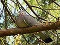 Wood Pigeon (Columba palumbus) (5653209230).jpg