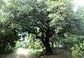Woods Dundovo - Kampor, Hrvatska - panoramio.jpg