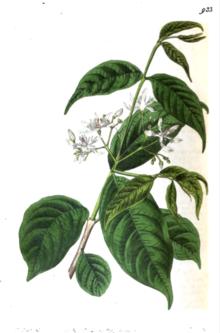 Wrightia Tinctoria Wikipedia