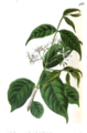 Wrightia tinctoria illustration from botanical register.png