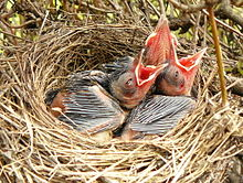 Three small chicks with open red mouths in a nest