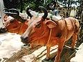 Xe bò Củ Chi tại địa đạo (2).jpg