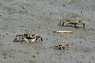 Macrophthalmidae family of crustaceans