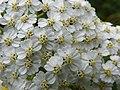 Yarrow (Achillea millefolium) (7949044602).jpg