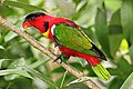 Yellow-bibbed-Lory.jpg