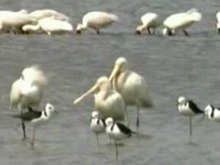 Archivo:Yellow-billed Spoonbill atkdam.ogv