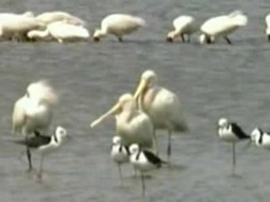 Fitxer:Yellow-billed Spoonbill atkdam.ogv