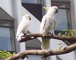 Yellow-crested Cockatoo.jpg