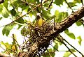Yellow-footed Green Pigeon Treron phoenicoptera nest by Dr. Raju Kasambe (1).jpg