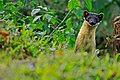 Yellow-throated Marten, Martes flavigula in Kaeng Krachan national park (15950684142).jpg