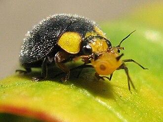 Apolinus lividigaster - Yellow Shouldered Ladybird (Apolinus lividigaster) with Aphis nerii