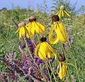 Yellow and purple wildflowers fill the prairie from spring through fall. (c976a926-2f93-4b65-9224-201ac33cde69).JPG