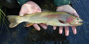 Description de l'image  Yellowstone_Cutthroat_Trout.jpg.
