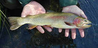 Yellowstone cutthroat trout freshwater fish in the salmon family in the United States