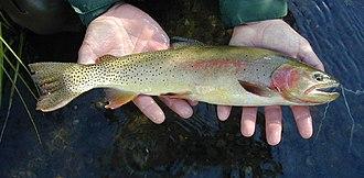 Yellowstone cutthroat trout - Image: Yellowstone Cutthroat Trout