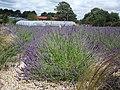 Yorkshire Lavender - geograph.org.uk - 494921.jpg