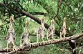 Young green herons on a branch (5896651819).jpg