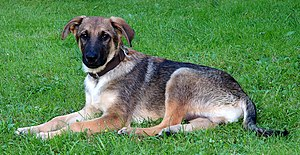 Young mixed-breed dog (aka)