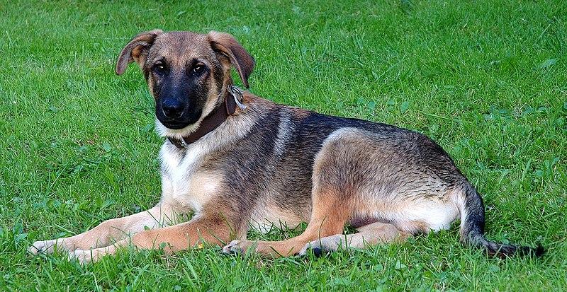 File:Young mixed-breed dog (aka).jpg