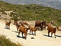 Ziegenherde, Süden von Sithonia.jpg