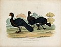 Zoological Society of London; three curassows. Coloured etch Wellcome V0023123.jpg