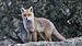 Iberian Red Fox - Photo (c) Juan Lacruz, some rights reserved (CC BY-SA)