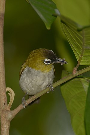 Black-crowned white-eye