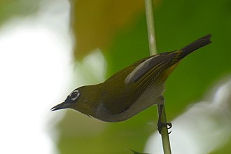 Black-crowned white-eye - Nominate subspecies in North Sulawesi, Indonesia