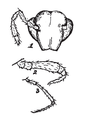Zygonopus whitei Ryder 1881.png