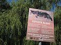 """Think you saw a coyote?"" (3821566163).jpg"