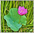 '1 Lotus flower in a pond'.jpg