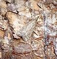 (1336) Eudonia pallida (37025824375).jpg