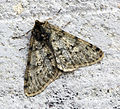 (1926) Pale Brindled Beauty (Phigalia pilosaria) (16535169631).jpg