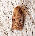(2123) Small Square-spot (Diarsia rubi) - Flickr - Bennyboymothman (1).jpg