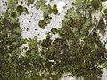 =Mousses sur un mur (2).jpg