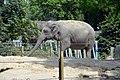 Éléphant d'Asie (Zoo Amiens) Jena.JPG
