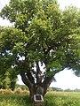 Історичне дерево, під яким відпочивав Т.Г. Шевченко с.Липів Ріг 74-233-0069 02.jpg