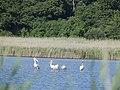 Волижин ліс, рожевий пелікан на озері.jpg
