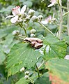 Восточная квакша - Hyla orientalis - Oriental Tree Frog (Shelkovnikov's Tree Frog) (35275480451).jpg