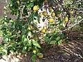 Гостеприимный дворик (Лимонное дерево) - panoramio.jpg