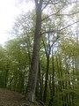 """Дел од Западна Македонија, дрвја на планината """"Бистра"""" 39.jpg"""