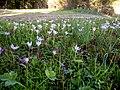 Крокус хорошенький - Crocus pulchellus - Hairy Crocus - Красив минзухар - Rosen-Herbst-Krokus (37844536502).jpg