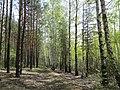Лес рядом с поселком Енино - panoramio.jpg