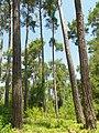 Пицундский заповедник - Реликтовая сосновая роща - panoramio.jpg