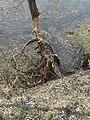 Річка Стохід,парк відпочинку навесні, дерева погризені бобрами 02.jpg