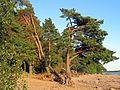 Сосны на берегу залива. - panoramio.jpg