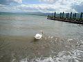Струга, Лебеди, Езеро.jpg