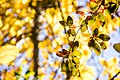برگ زرد-پاییز-yellow leaves-falling leaves 25.jpg